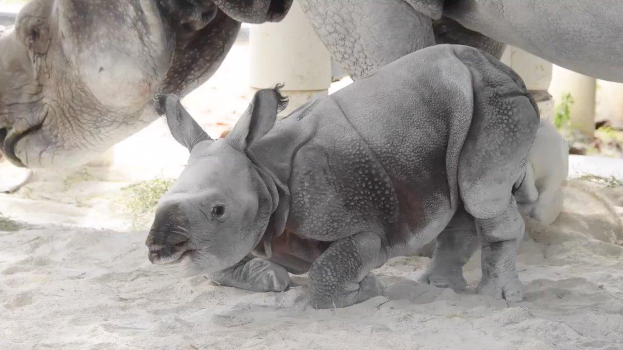 Historic Rhino Birth At Miami Zoo