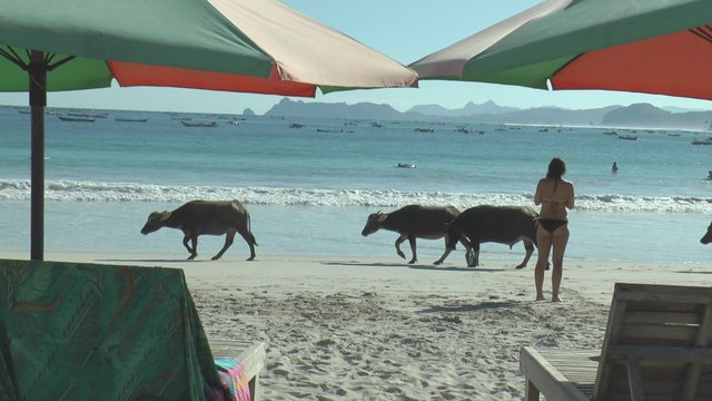 Buffaloes in the secret beach (2)