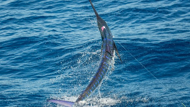 Sailfish on the Fly  |  Guatemala