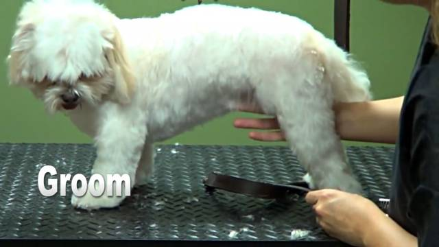 How to Groom a Shih Tzu (Puppy Cut)