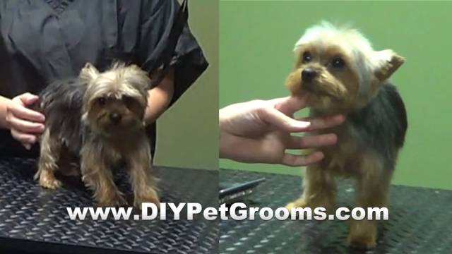 "How to Groom a Yorkshire Terrier ""Yorkie"" (Puppy Cut)"