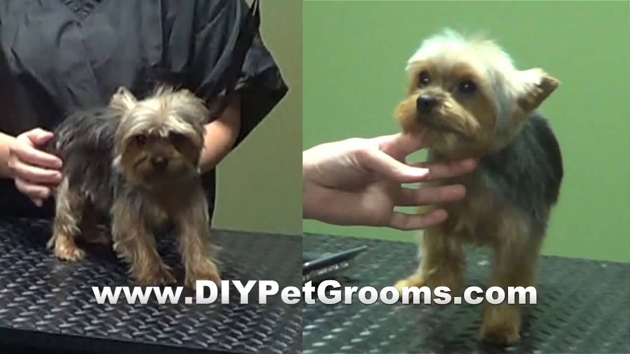 How To Groom A Yorkshire Terrier Yorkie Puppy Cut Diy Petgrooms